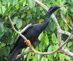 Anhinga-Anhinga (male) at Canon Negro