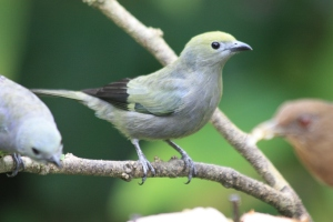 Palm Tanager at The Arenal Green Hotel in La Fortuna