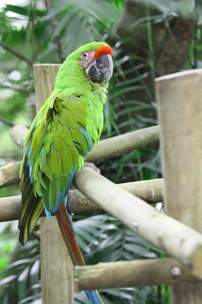 Great Green Macaw at San Jose Zoo