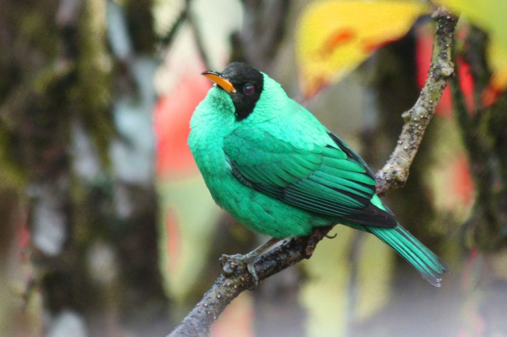 Green Honeycreeper at the Arenal Lodge