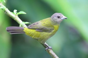Scarlet-rump Tanager at The Arenal Green Hotel in La Fortuna