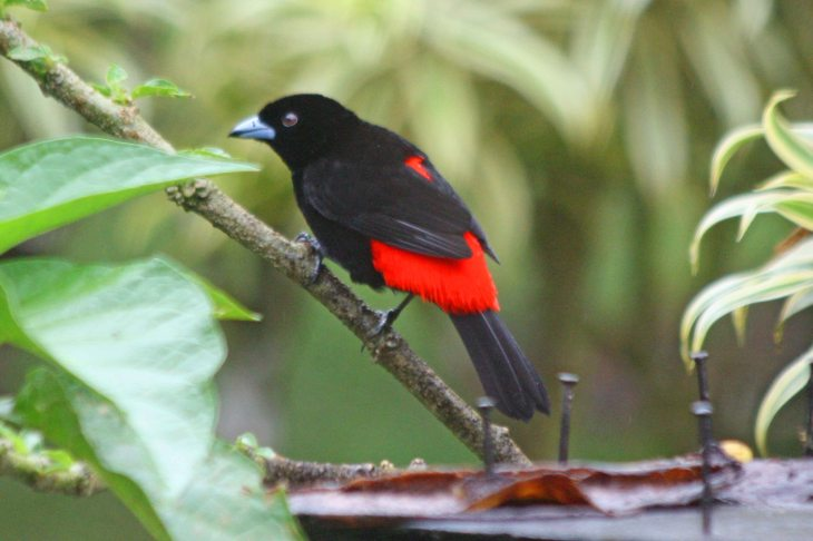 Passerinis Tanager at the Arenal Green in La Fortuna