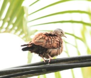 Ruddy Ground-Dove in Quesada City
