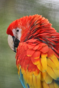 Scarlet Macaw at the San Jose Zoo