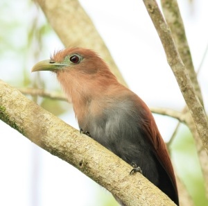 Squirrel Cuckoo at Carlos Lodge in La Fortuna