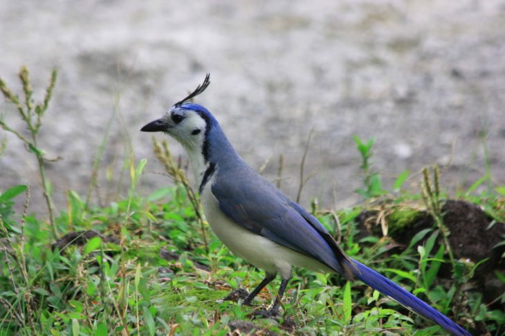 Bird White-Throated Magpie-Jay at Arenal Park