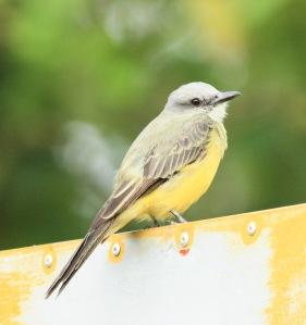 Tropical King Bird at Carlos Lodge