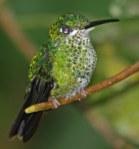 Hummingbird in Monteverde