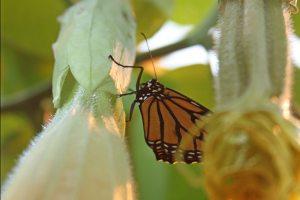 Butterfly Monarch 5508 CrpSatSm