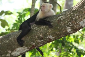 Capuchin1405Sm