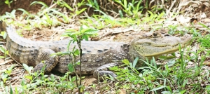 Caiman at Canon Negro