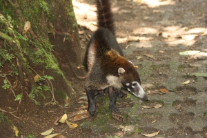White-nosed Coati at Hanging Bridges