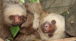 Two-toed Sloth at Proyecto Asis
