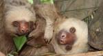 Two-toed Sloth at Proyecto Asis