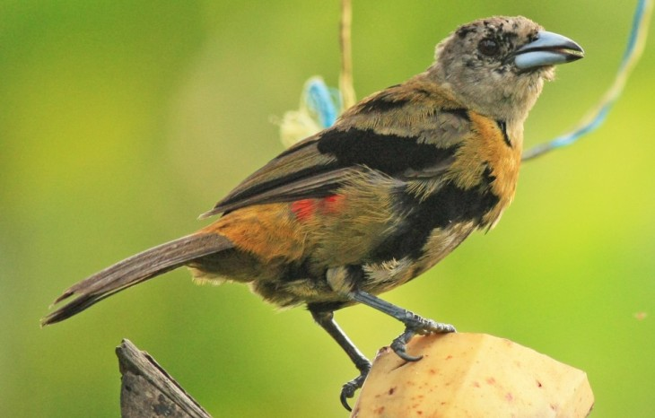 Passerine's Tanager (immature male) at The Arenal Green Hotel in La Fortuna