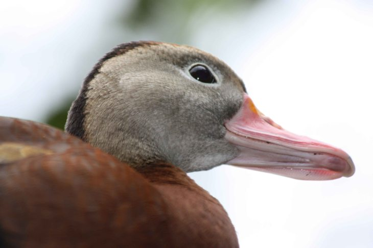 Black-bellied Whistling Duck at La Paz