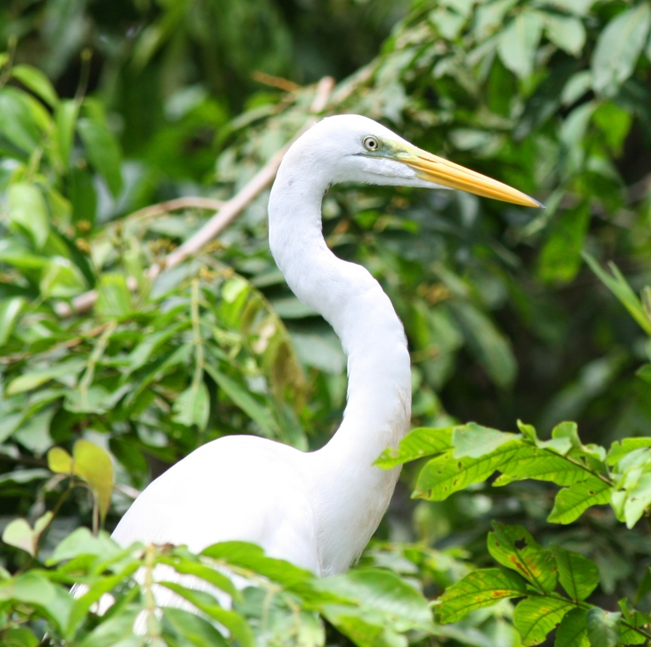 Great White Heron (male) at Canon Negro