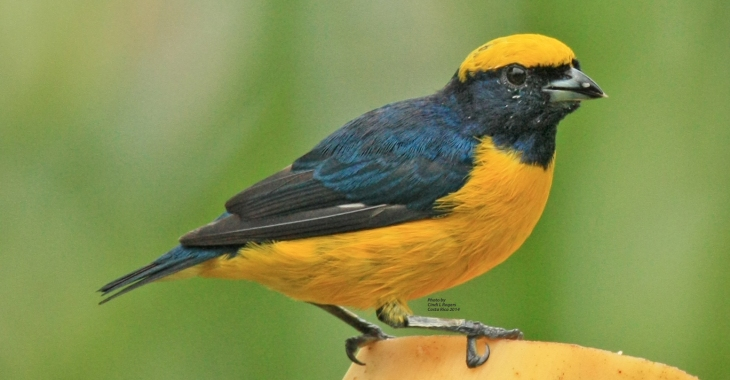 Yellow-crowned Euphonia at The Arenal Green Hotel in La Fortuna