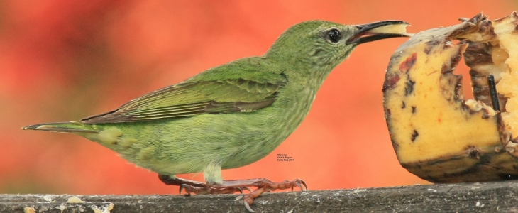 Red-legged Honeycreeper (female) at The Arenal Green Hotel in La Fortuna