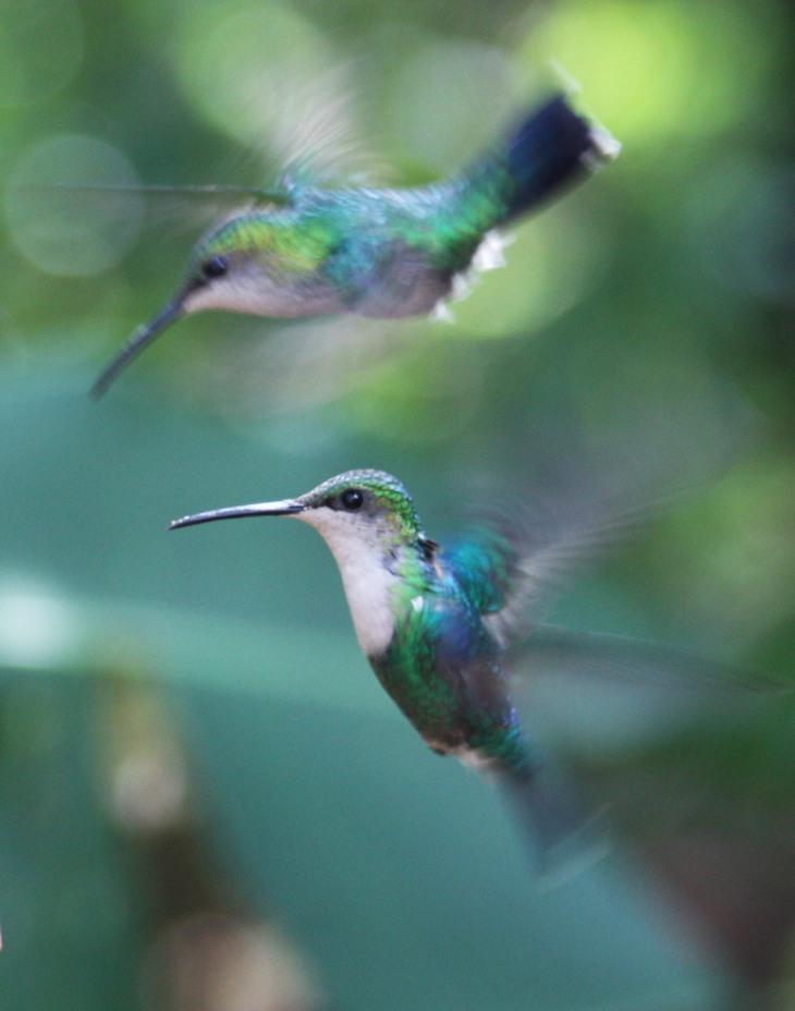 Hummingbirds at Monteverdi
