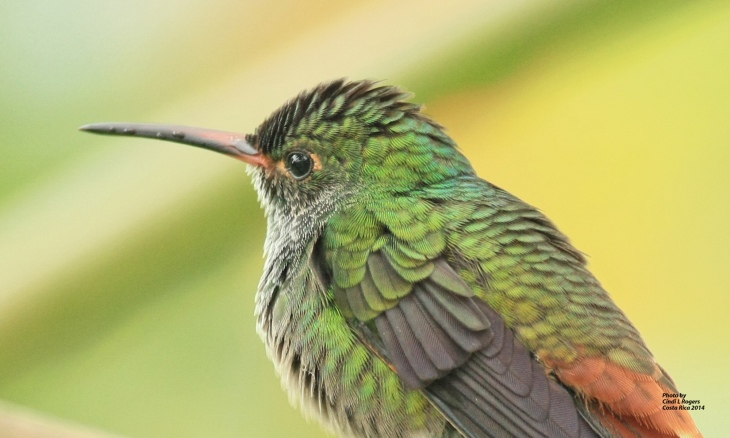 Hummingbird at The Arenal Green Hotel in La Fortuna