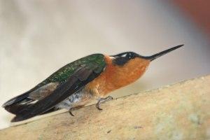 Hummingbird at Monteverde