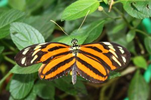 Tiger-stripde Longwing Butterfly