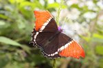 Brown Siporeta Butterfly