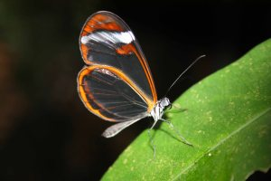 Greta Glasswing Butterfly