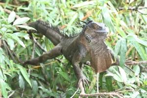 Iguana (female)