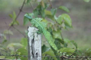 Jesus Christ Lizard (male)
