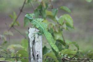 Jesus Christ Lizard (male)