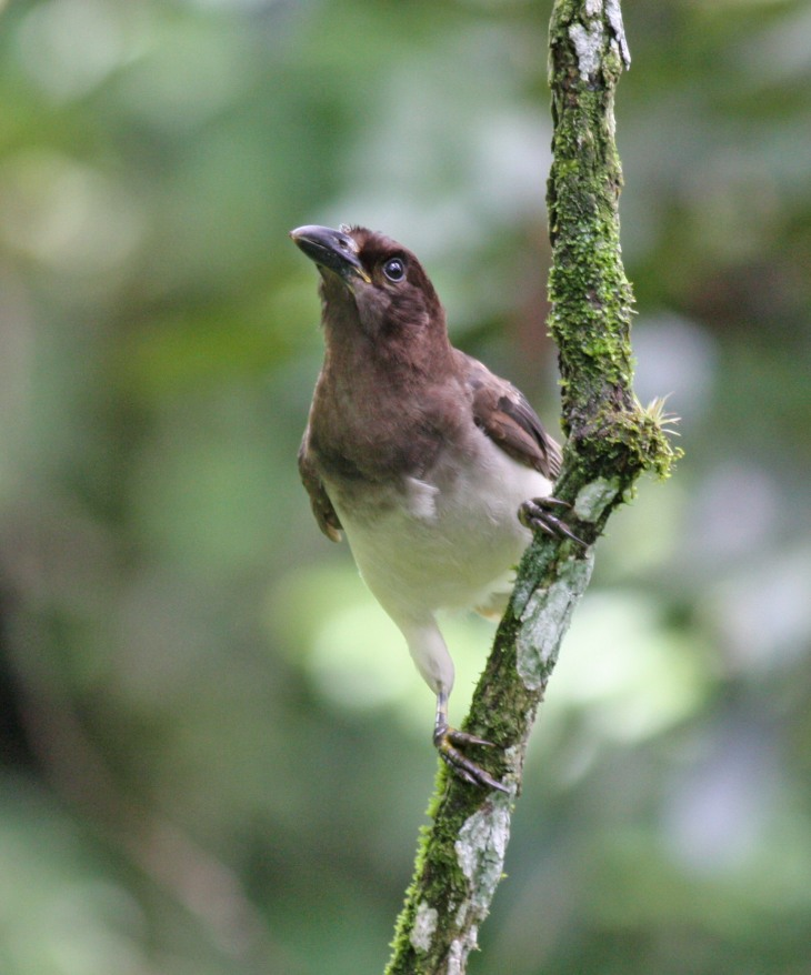 Brown Jay at the Butterfly Conservatory in El Castillo