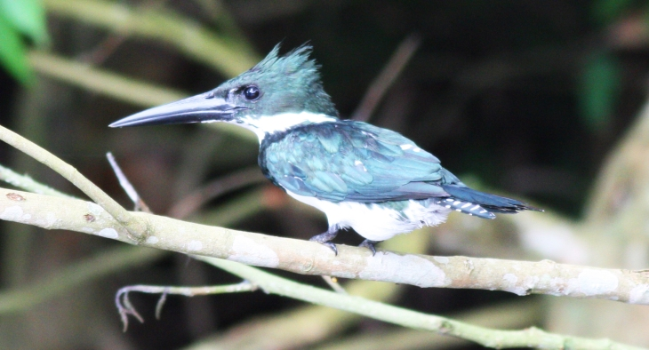 Amazon Kingfisher at Canon Negro