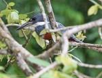 Ringed Kingfisher at Canon Negro