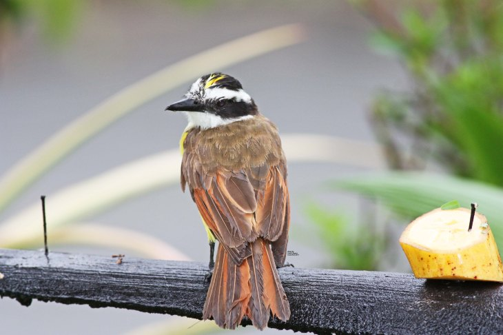 Great Kiskadee at The Arenal Green Hotel in La Fortuna