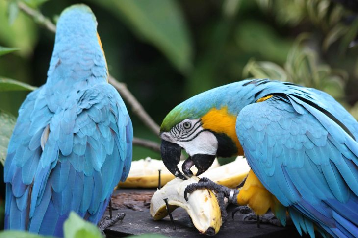 Blue & Gold Macaw at the Arenal Lodge
