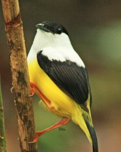Manakin at Eco Centro Danaus