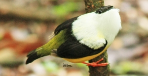 White-collared Manakin at Eco Centro Danaus in La Fortuna