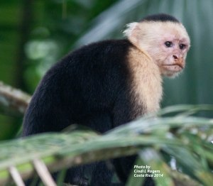 Capuchin at Canon Negro