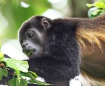Howler Monkey at Canon Negro