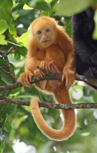 Baby Howler Monkey at Canon Negro