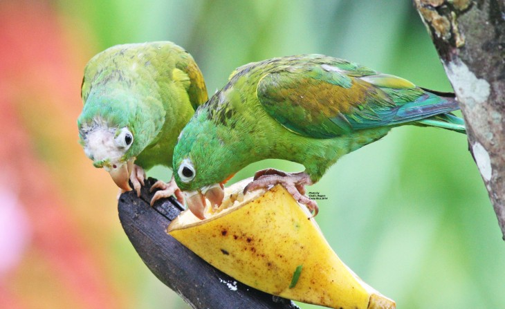 Parakeets at The Arenal Green Hotel in La Fortuna