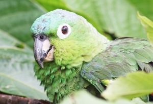 Parrot at Cataratas Cabins in La Fortuna