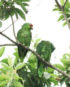 Parrot in Quesada City