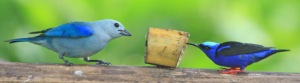Blue-gray Tanager & Red-legged Honeycreeper