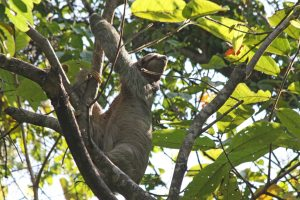 Three-toed Sloth at Manuel Antonio park