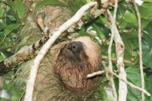 Sloth at Quesada City