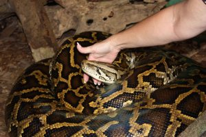 Holding onto a Bermese Python at Arenal EcoZoo