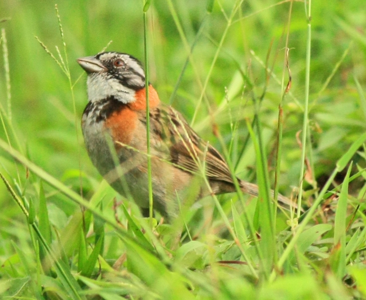 Rufous-colored Sparrow at The Arenal Green Hotel in La Fortuna